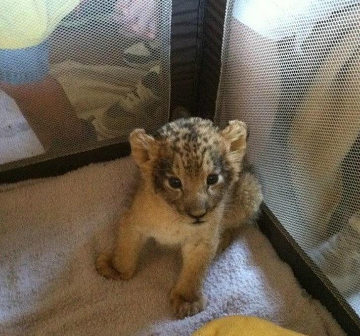 котенок льва