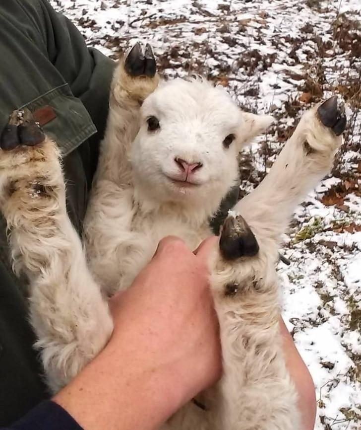 козленок на руках