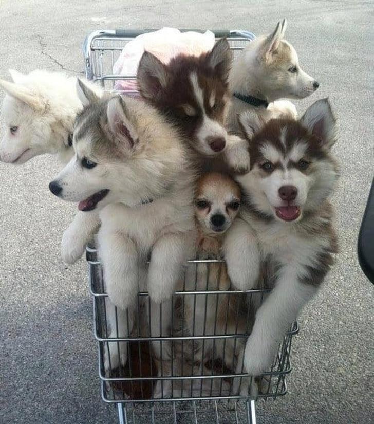 щенки в тележке