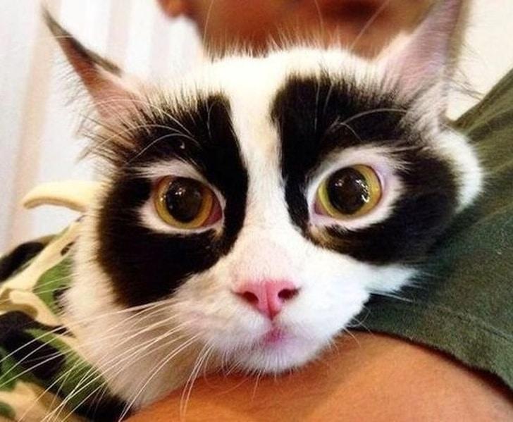 белый кот с черными кругами вокруг глаз