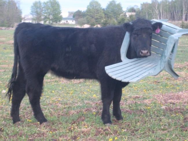 корова застряла