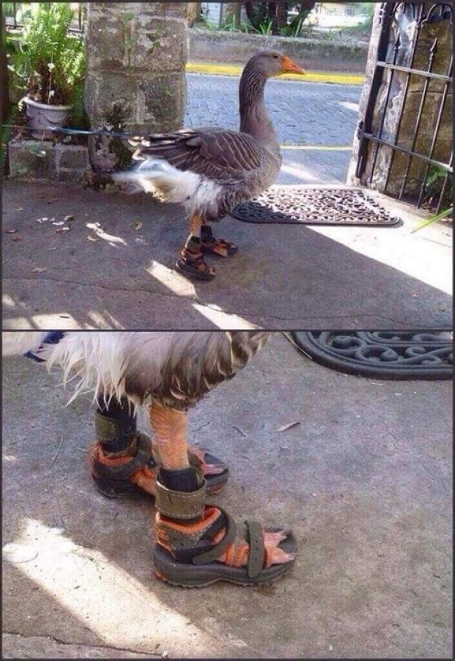 гусь в сандалях