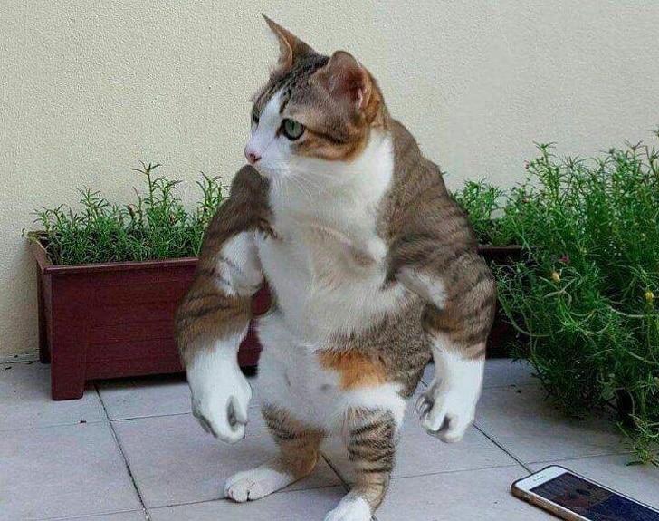 накачанный кот
