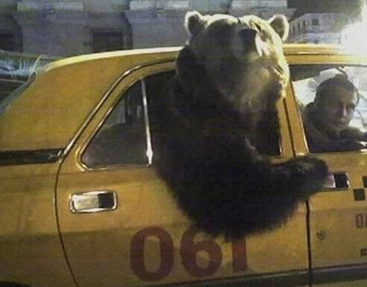 медведь в машине