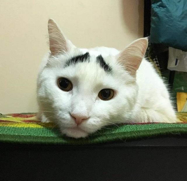 белый кот с черными бровями