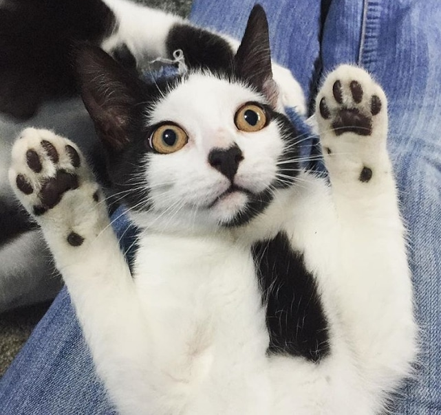черно-белый кот лежит на спине