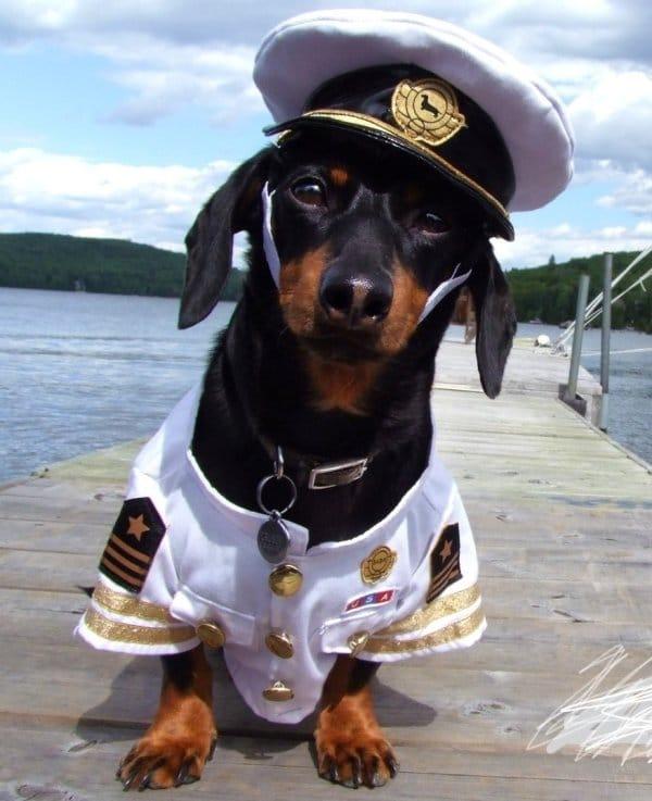 такса в костюме моряка