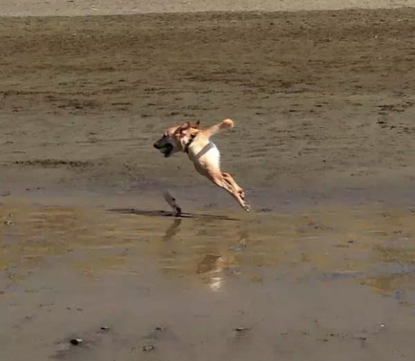 собака бежит вдоль берега