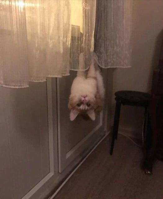 кот висит на шторах