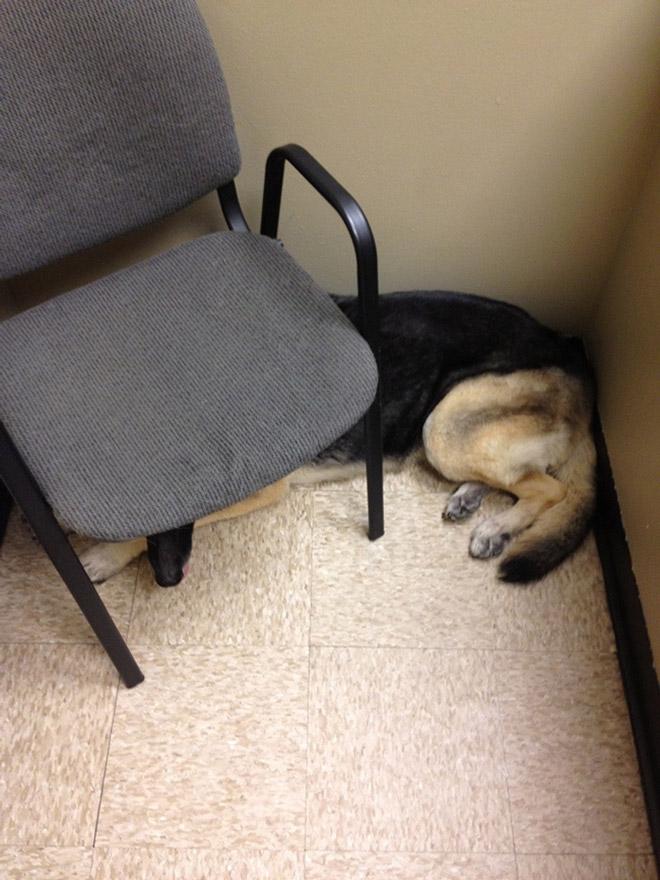 овчарка спряталась под стулом
