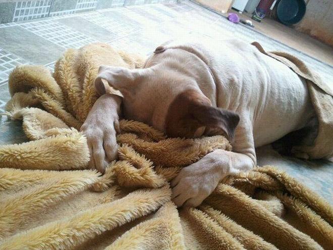 пес спрятался в одеяле