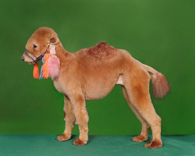 собака в образе верблюда