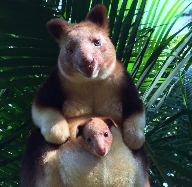 древесный кенгуру с детенышем