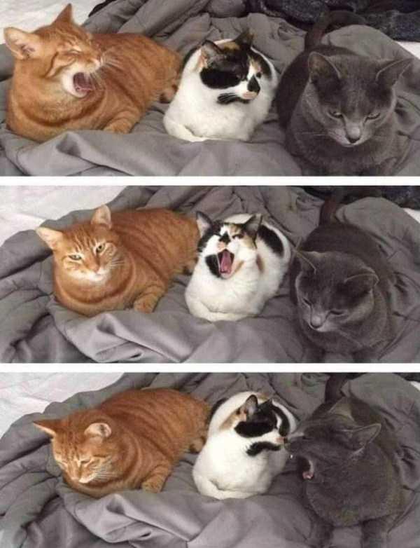 коты зевают по очереди