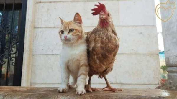 рыжий кот и курица