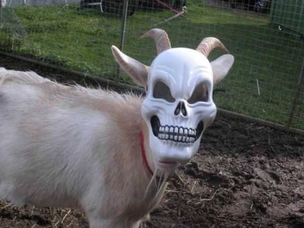 коза в маске