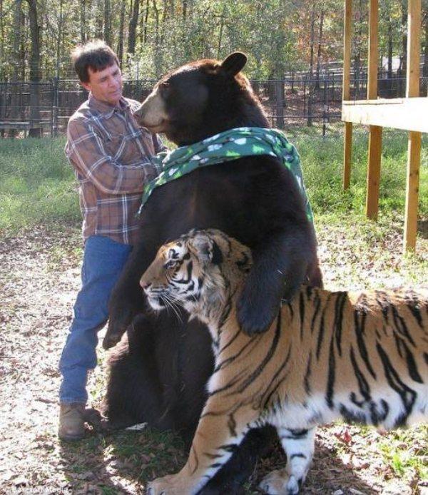 медведь с тигром и мужчина