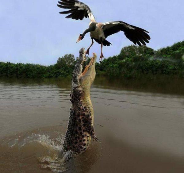 крокодил ловит птицу