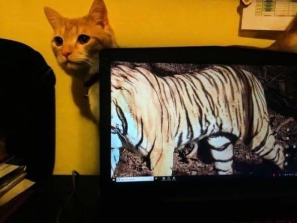 рыжий кот за монитором