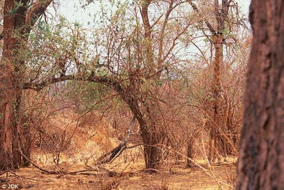 жираф среди деревьев