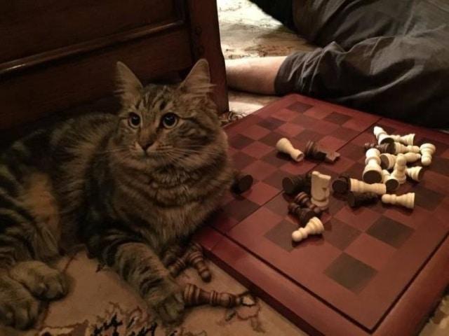 кот мешает играть в шахматы