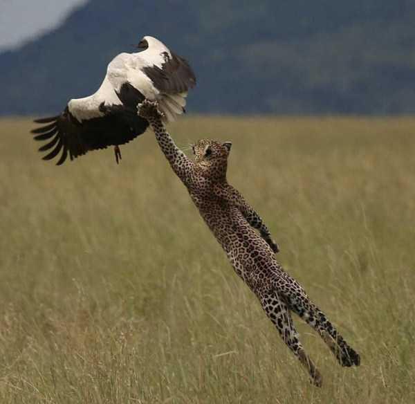 леопард ловит птицу