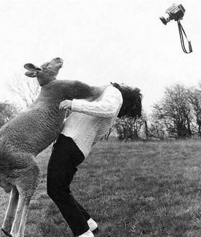 кенгуру и фотограф