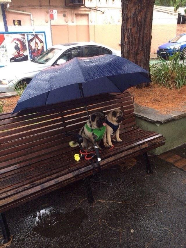 мопсы сидят под зонтом