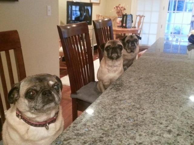 мопсы сидят за столом