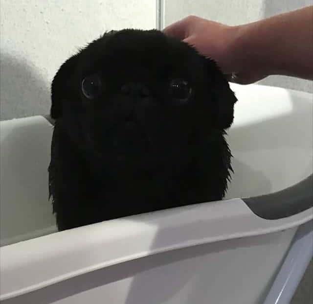 мопса моют в ванне