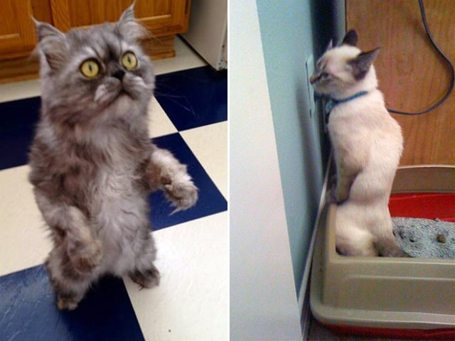 смешные коты на задних лапах