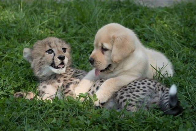 малыш гепарда и щенок