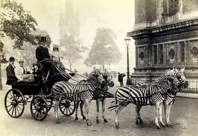 карета с зебрами