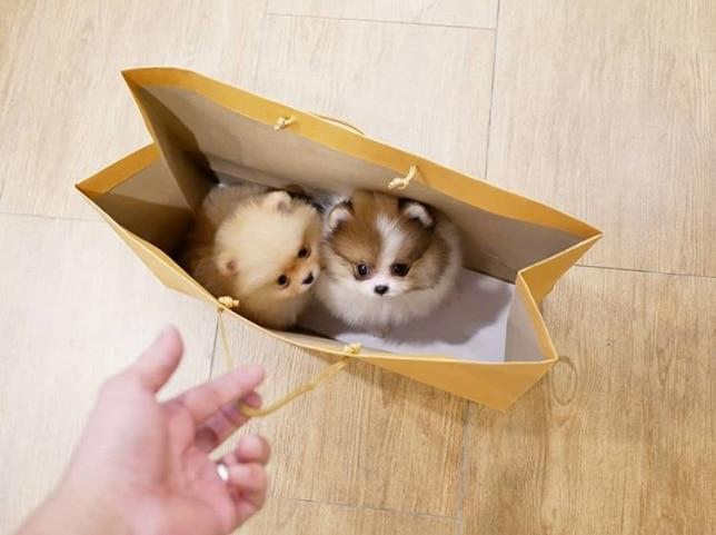 два шпица в пакете