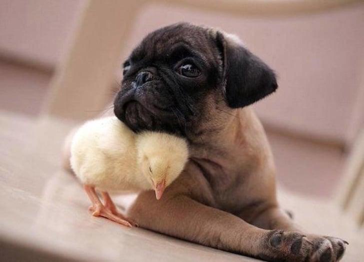 щенок и цыпленок