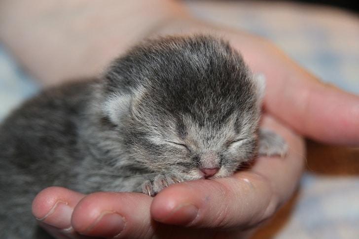 серый котенок спит на ладони