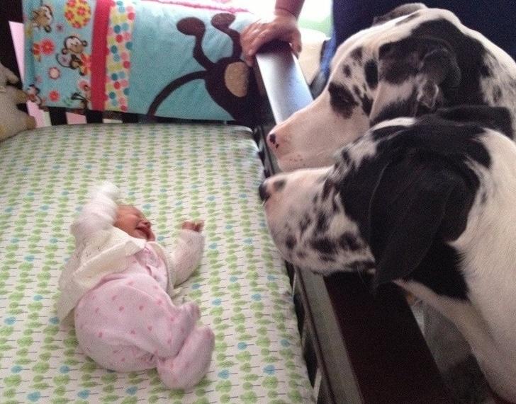 далматинцы смотрят на новорожденную