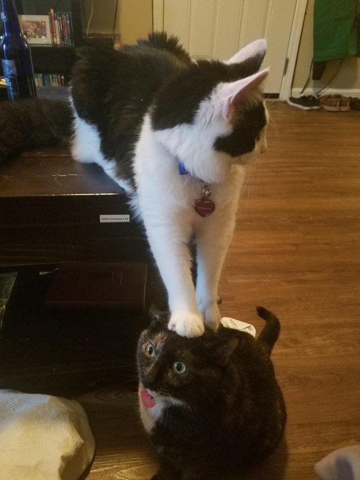 кошка стоит на голове у другой кошки