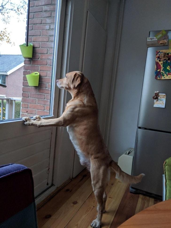 собака выглядывает в окно