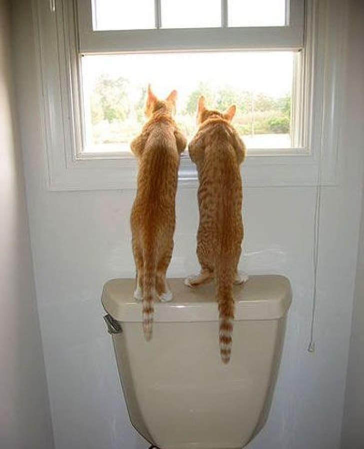 два рыжих кота смотрят в окно