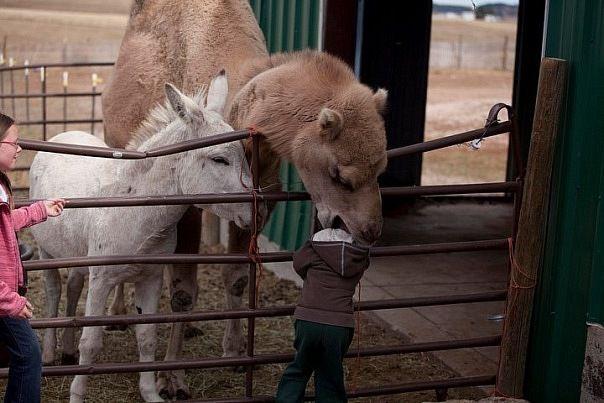 верблюд и ребенок