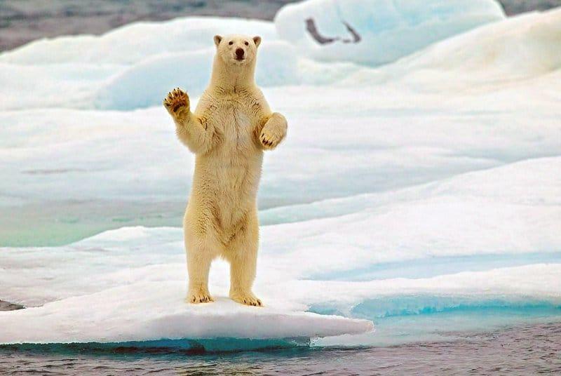 белый медведь машет лапой