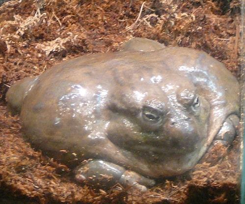 толстая лягушка