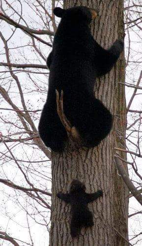 медведица и медвежонок на дереве