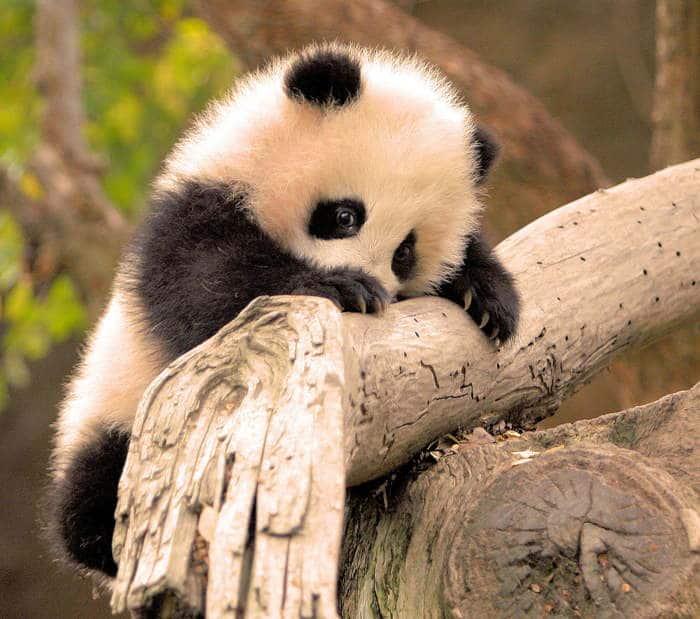 маленькая панда на ветке
