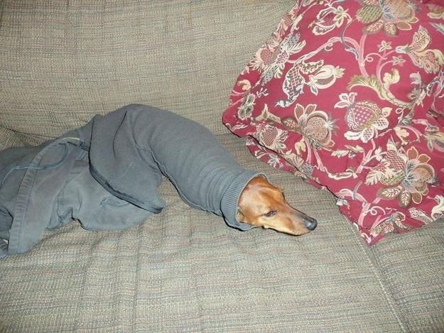 собака застряла в одежде