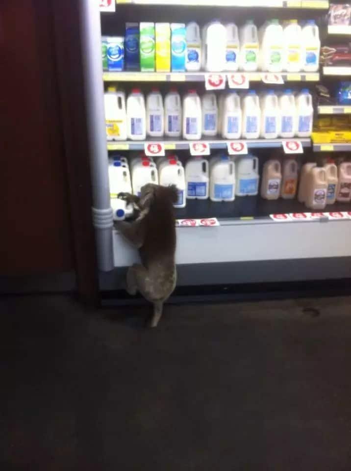 коала в магазине