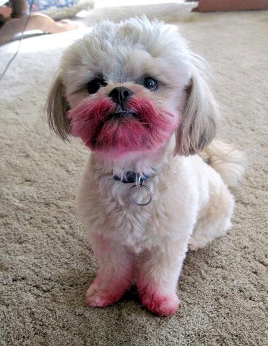 пес измазался губной помадой