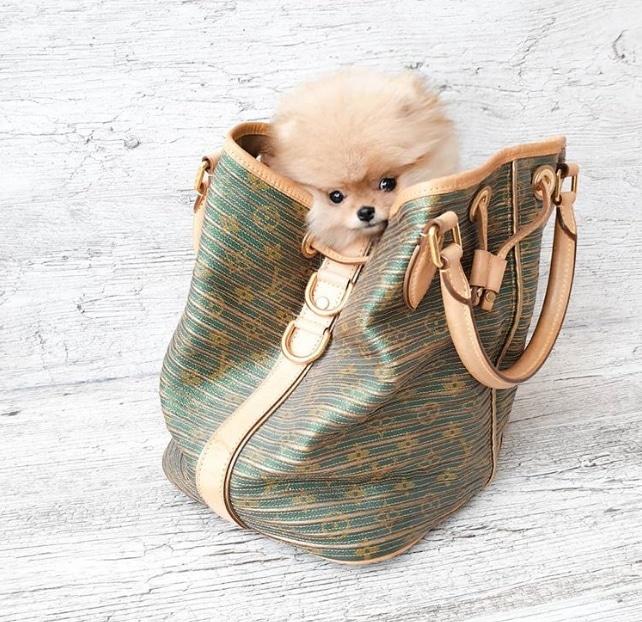 шпиц в женской сумке