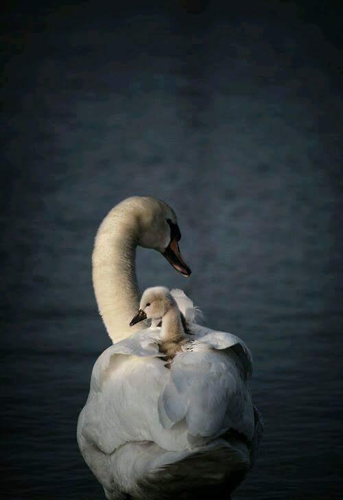 лебедь с птенцом на спине